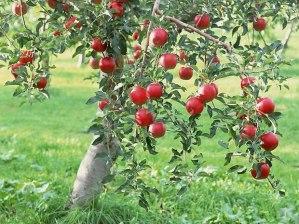 como-cultivar-un-manzano-desde-una-semilla-1